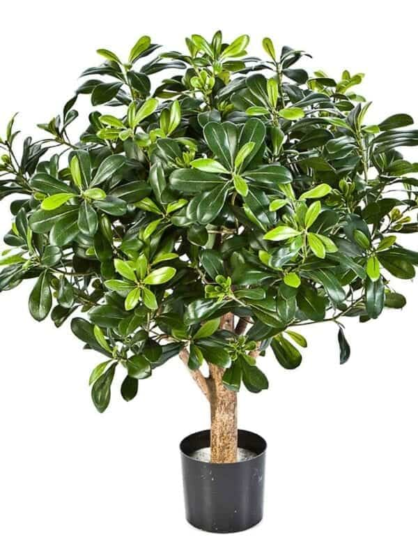 Pittisporum Ball Stablo