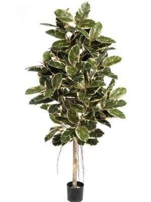 Variegated Ficus Elastica